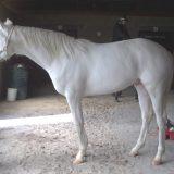 白毛の馬ドミナントホワイト