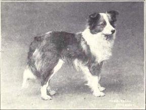シェットランド・シープドッグ 1915