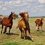 クオーターホース american quarter horse