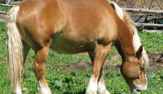 ベルジャン - ベルギー原産の人気輓馬