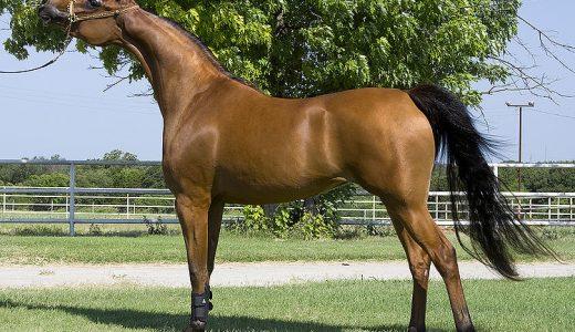 アラブ馬(Arabian Horse) - もっとも古い血筋【馬の品種】