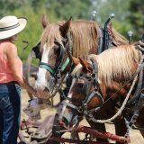 現代も輓馬(農耕馬)として働く馬たち