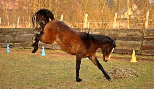 馬のキック力は体重とほぼ同じ 微妙な結果に終わった実験