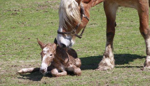 馬の繁殖期 - 牡馬は人間と同じく年中ウェルカム