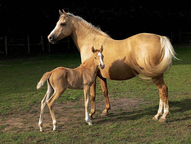 馬の毛色 月毛・パロミロ