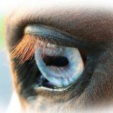 馬の光彩瞳