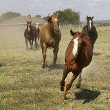 馬 群れ クォーターホース