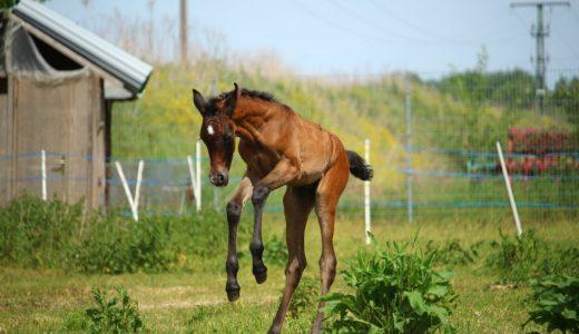 サラブレッド (Thoroughbred) - 徹底的に品種改良された馬【馬の品種】